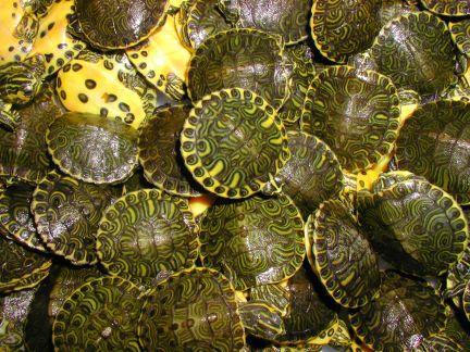 Сколько красноухая черепаха может находиться под водой